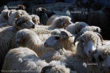 Nemulţumirile crescătorilor de ovine din România, prezentate luni în conferinţă organizată - Asociaţia Profesională a Ciobanilor