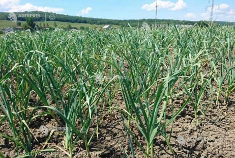 Sprijinul financiar pentru producţia de usturoi ar putea creşte la 3.000 euro/hectar (proiect)