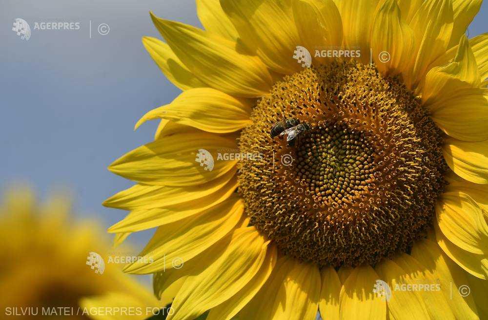 Un vaccin pentru albine, creat în Finlanda pentru a opri ''apocalipsa insectelor''