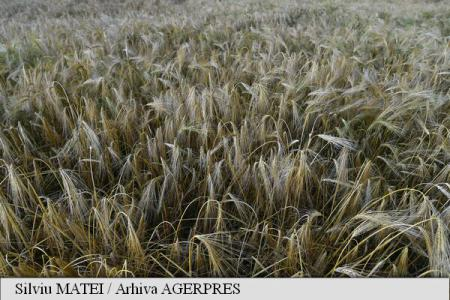 FAO: Recoltele-record de cereale au dus în august la scăderea prețurilor la alimente la nivel mondial