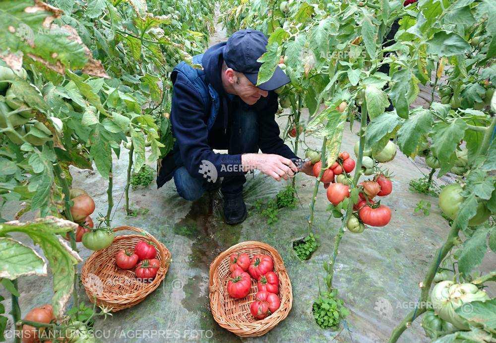 Programul de sprijin pentru tomatele româneşti continuă şi în 2019; Ministerul Agriculturii alocă 50 de milioane de euro
