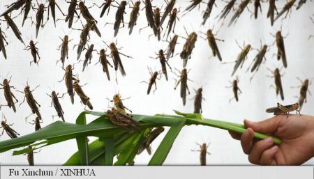 Guvernul unei provincii chineze folosește păsări migratoare și găini pentru a combate o invazie de lăcuste