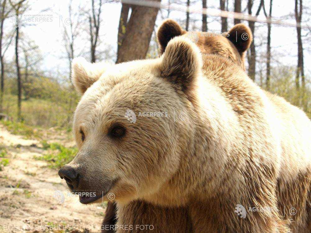 Neamţ: Numărul urşilor din judeţ este dublu faţă de efectivul optim, conform APM