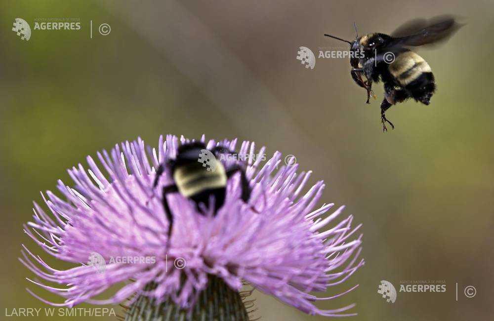 Bondarii prezintă indicii ale unei ''dependenţe'' de pesticide (studiu)