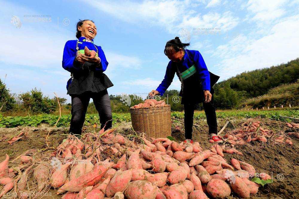 Cartofii dulci ar proveni din Asia, nu de pe continentul american (studiu)