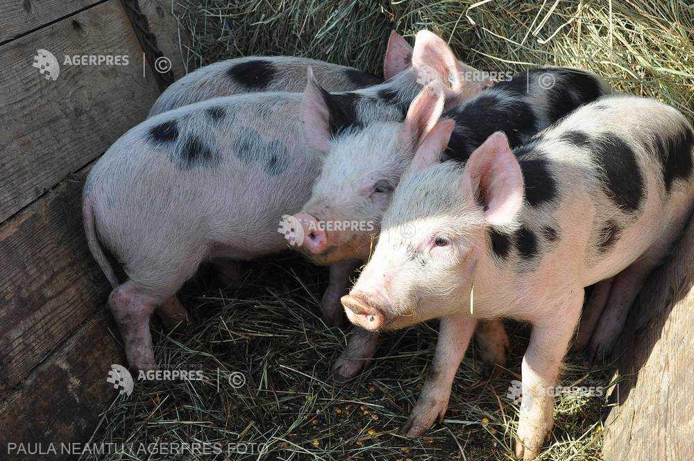 Pesta porcină africană confirmată în două gospodării din judeţul Ialomiţa