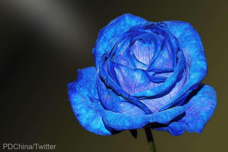Trandafirii albaştri, mai aproape de realitate datorită tehnologiei genetice (studiu)