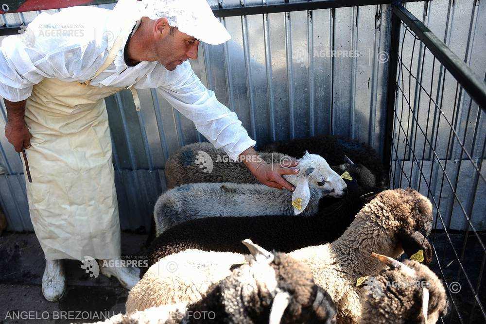 Preţul cărnii de miel ar putea ajunge în preajma Sărbătorilor Pascale la 12-14 lei/kilogram în viu (asociaţie)