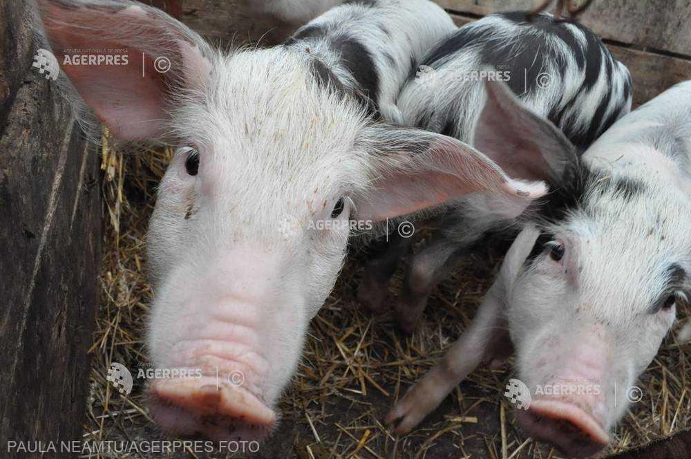 ANSVSA: Pesta porcină africană, confirmată într-o gospodărie din judeţul Covasna