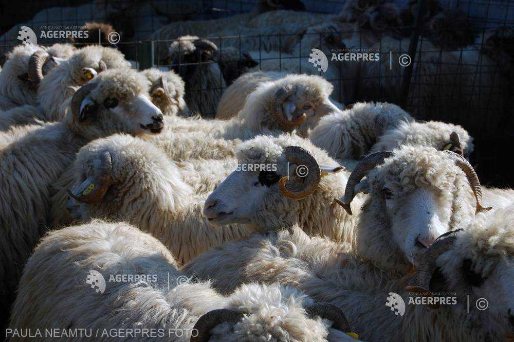 Ministerul Agriculturii: Perioada de valorificare a lânii se prelungeşte până la 1 noiembrie (proiect)