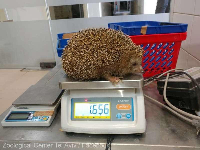 Un arici corpolent, pus la dietă de o grădină zoologică din Israel