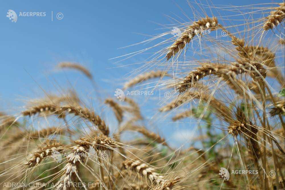 Genomul complet al grâului, decriptat pentru prima dată de cercetători (studiu)