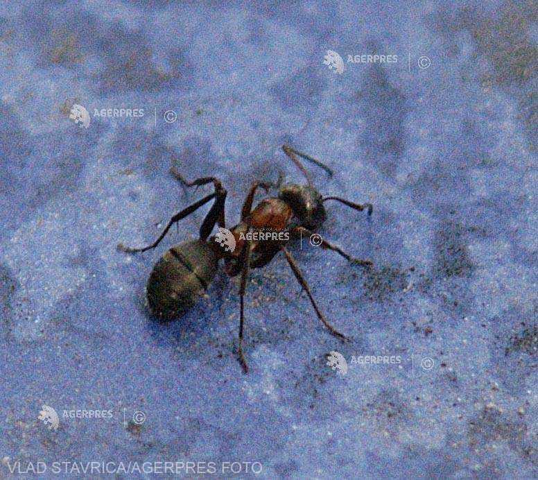 Furnicile îşi sacrifică semenii grav bolnavi din colonie pentru a preveni răspândirea infecţiilor (studiu)