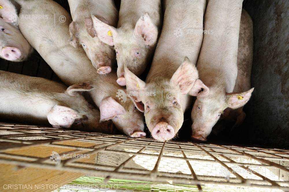 Buzău: Porci-santinelă, la ultimul focar de PPA din judeţ, în comuna Beceni