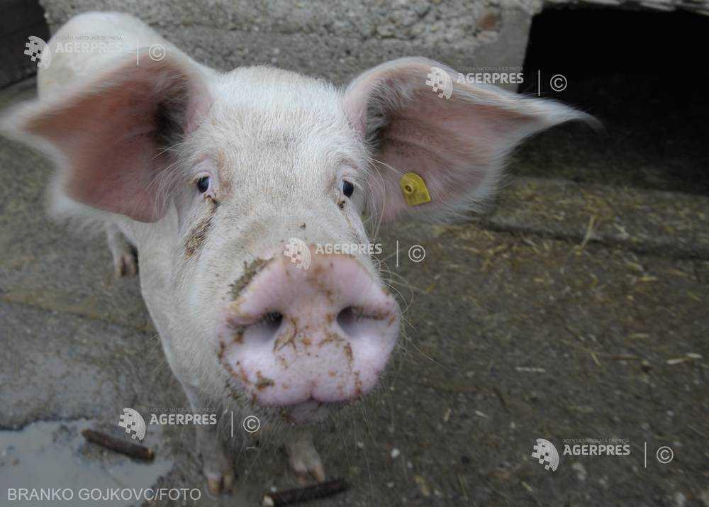 Subprefectul din Giurgiu: A fost instituită zonă de protecţie în jurul focarului de pestă; porcii - inventariaţi