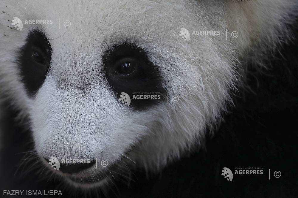 Dantura urşilor panda ar putea inspira dezvoltarea unui material dentar bionic pentru oameni (studiu)