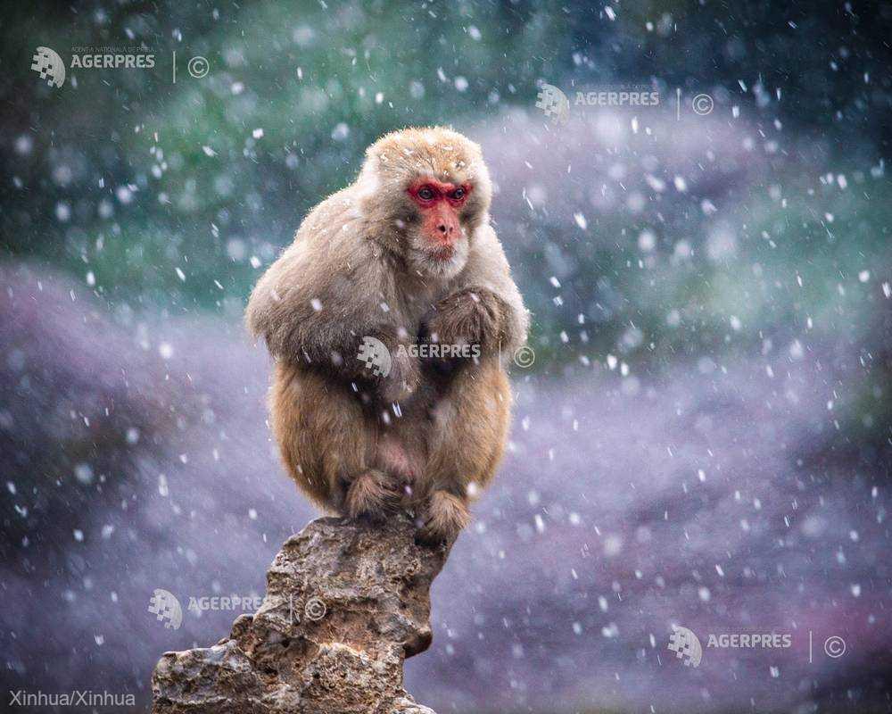 Macacii japonezi au găsit o metodă de deplasare inedită pentru a evita zăpada - merg în şir indian pe cabluri