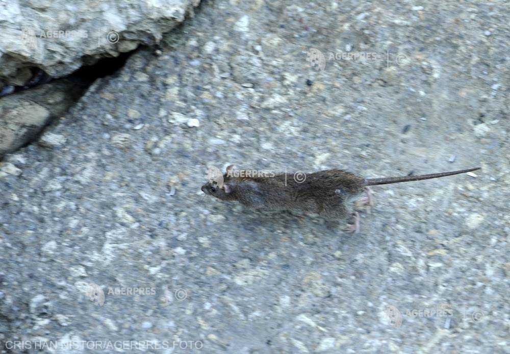 O asociaţie pentru drepturile animalelor le cere parizienilor să înceteze 'masacrul' împotriva şobolanilor