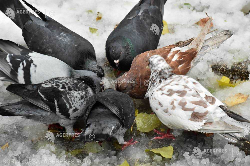 Şobolanii şi porumbeii ''înlocuiesc speciile emblematice''