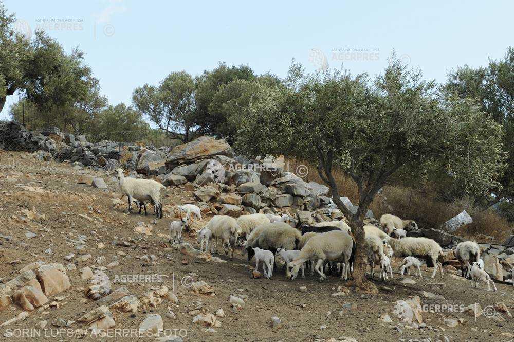 România interzice comerţul cu oi şi capre din regiunile bulgăreşti Yambol şi Burgas