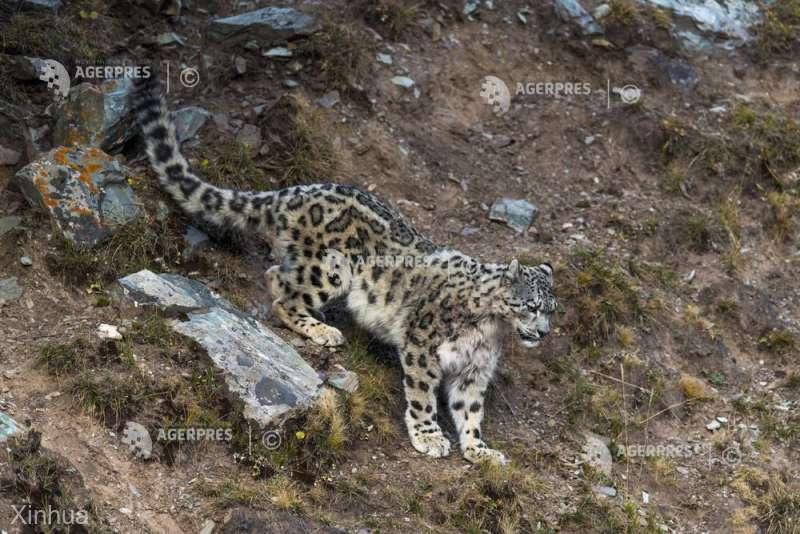 Braconarea leoparzilor de zăpadă, în creştere în Mongolia (WWF)
